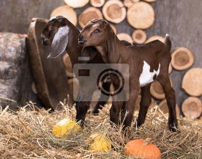Fototapeta kůň z nubijského plemene d3e4b4aa0b