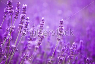 Fototapeta Květiny v poli levandule v pohoří provence.
