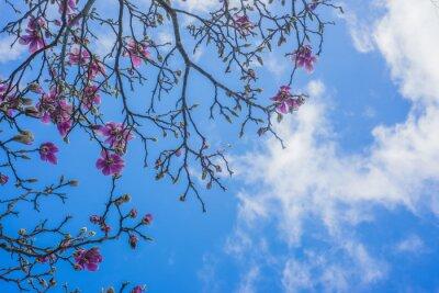 Fototapeta Kvetoucí magnólie strom