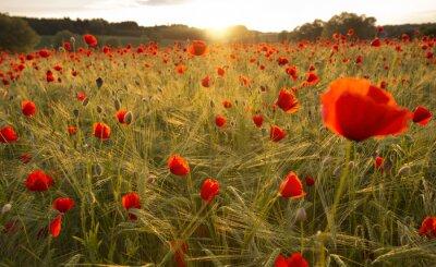Fototapeta Kvetoucí maková pole ve večerním světle