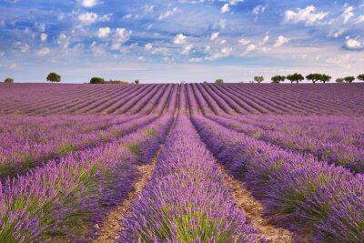 Fototapeta Kvetoucí pole levandule v Provence, jižní Francie