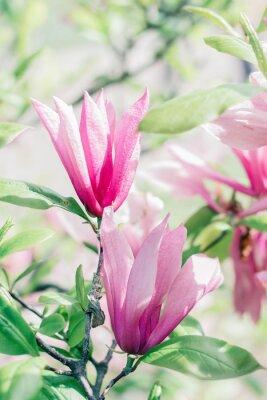Fototapeta Kvetoucí růžové květy magnólie na jaře