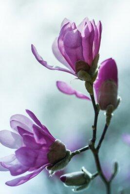 Fototapeta Kvetoucí růžové magnólie