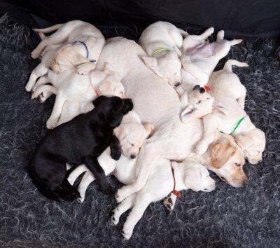 Fototapeta Labrador puppys spí s matkou