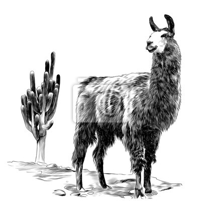 Lama Stoji V Pousti Na Pisku V Blizkosti Kaktusove Kresby Vektorove