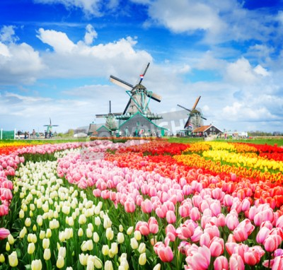 Fototapeta landscape with traditional Dutch windmills of Zaanse Schans and rows of tulips, Netherlands, retro toned
