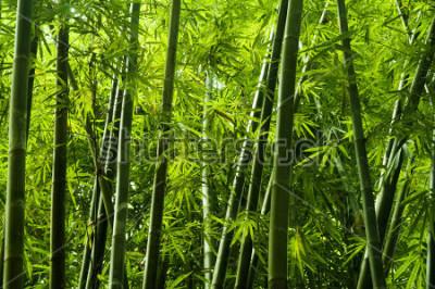 Fototapeta Lanscape z bambusového stromu v tropickém deštném pralese, Malajsie