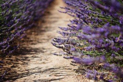 Fototapeta Lavender květinou, která kvete pole v Provence, Francie