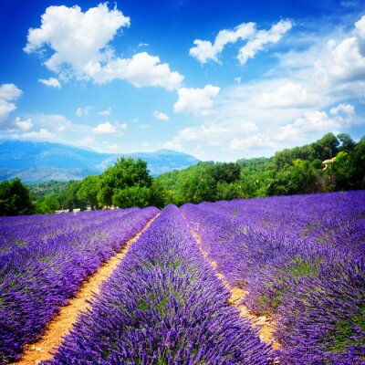 Fototapeta Lavender pole