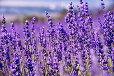 Fototapeta Lavender pole v létě