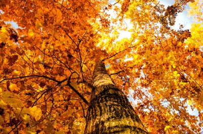 Fototapeta leaf žlutý