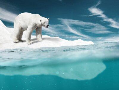 Fototapeta Lední Medvěd