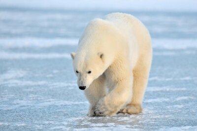Fototapeta Lední medvěd chůzi na modrém ledu.