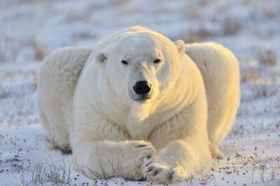 Fototapeta Lední medvěd ležící v tundře.