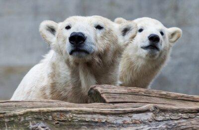 Fototapeta Lední medvěd rodina