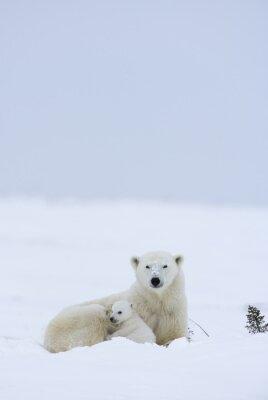 Fototapeta Lední medvěd s mláďaty