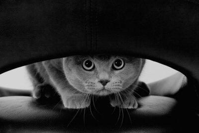 Fototapeta Legrační skotský kočka s velkými kulatými oči při pohledu skrz otvor (v černé a bílé, retro stylu)