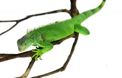 Fototapeta Leguán zelený izolovaných na bílém s ořezovou cestou