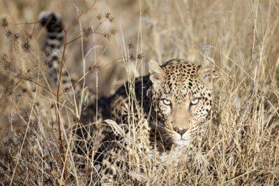 Fototapeta Leopard pohybující se přes bushveld