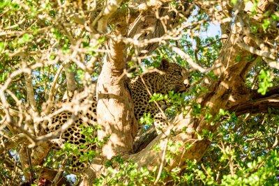 Fototapeta Leopard skrývá ve stromu