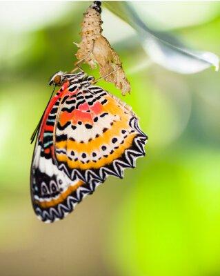 Fototapeta Leopard zlatoočka motýl vyjít z kukly