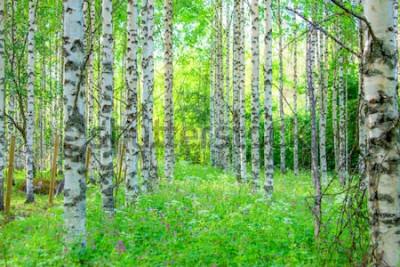 Fototapeta Letní březový les pohled z Sotkamo, Finsko.