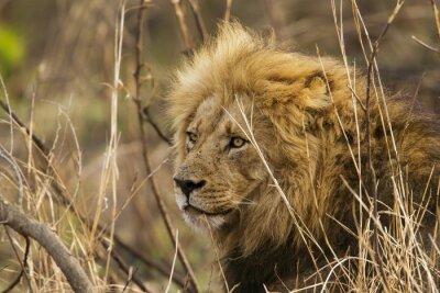Fototapeta Lev v Kruger National Park