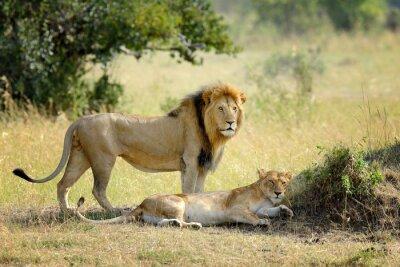 Fototapeta Lev v Národním parku Keni