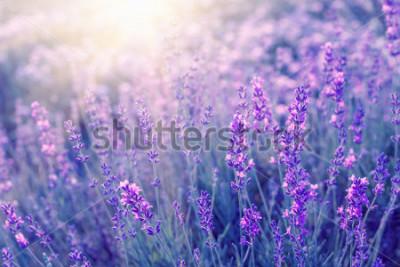 Fototapeta Levandule keře detailní na západ slunce. Západ slunce září nad fialovými květinami levandule. Kruhy v centru obrazu a sluneční světlo vlevo. Provence oblast Francie.