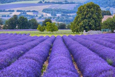 Fototapeta Levandule pole v Provence