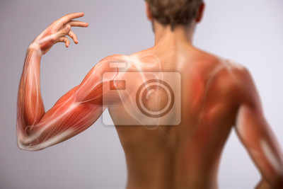 Fototapeta Lidská ramena anatomie.