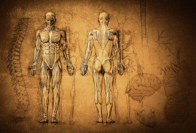 Fototapeta lidské anatomie kresba, starý, plátno