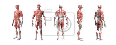 Fototapeta Lidské anatomie svalnatý systém 3d vykreslování s ořezovou cestou.