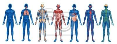 Fototapeta Lidské tělo systémy