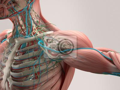 Fototapeta Lidský detail anatomie rameno. Svalu, kosti, tepny. Na běžný pozadí studio. Profesionální osvětlení.