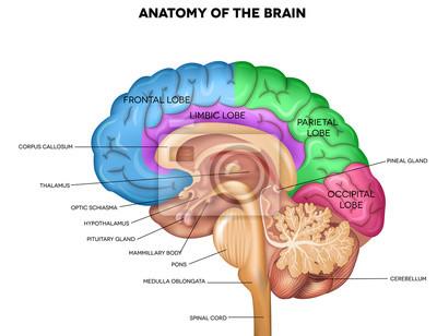 Fototapeta Lidský mozek anatomie