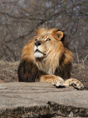 Fototapeta Lion Dívám se na nebe