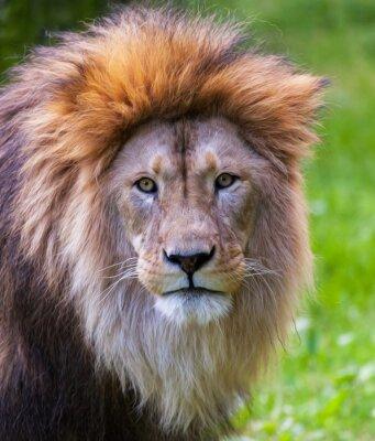 Fototapeta Lion portrét