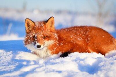Fototapeta liška