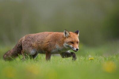Fototapeta Liška chůze v poli trávy a květiny