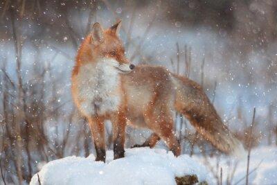 Fototapeta liška v zimě lese Pretty