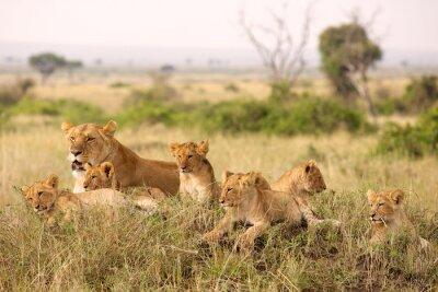 Fototapeta Little lion cubs relaxing