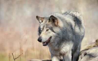 Fototapeta loup Sauvage en automne