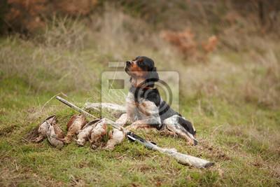 Lovecký pes epagnol breton na lov ptáků fototapeta • fototapety ... be76ff59fb
