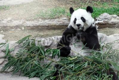 Fototapeta Lovely panda jíst bambus