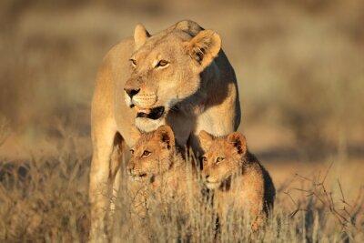Fototapeta Lvice s mladými lvíčata (Panthera leo) v ranním světle, poušť Kalahari, Jižní Afrika.
