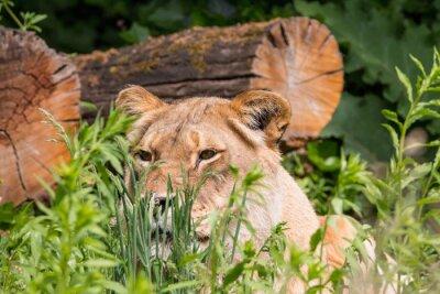 Fototapeta Lvice v trávě
