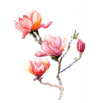 Fototapeta Magnolia akvarel na bílém pozadí