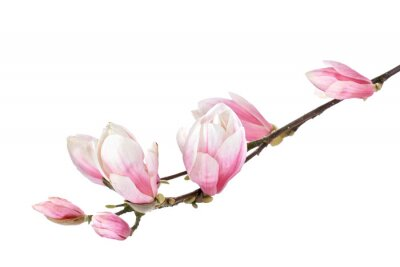 Fototapeta Magnolia flower pobočka izolovaných na bílém pozadí