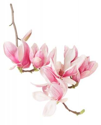 Fototapeta Magnolia, jarní květina větev a pupeny na bílém, ořezové cesty